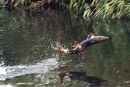 遡上する鮭のいる川へ